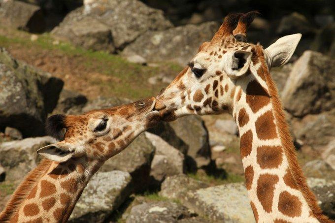 Animales besándose que demuestran que los besos no son solo para las personas (Parte 2)