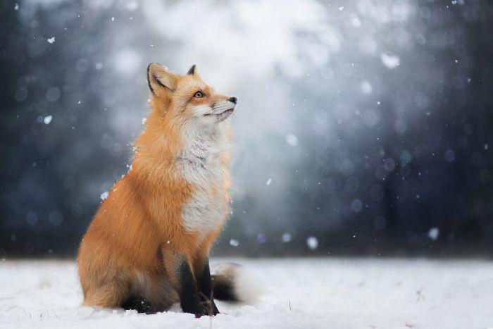 Freya, un hermoso zorro fotografiado en los bosques polacos