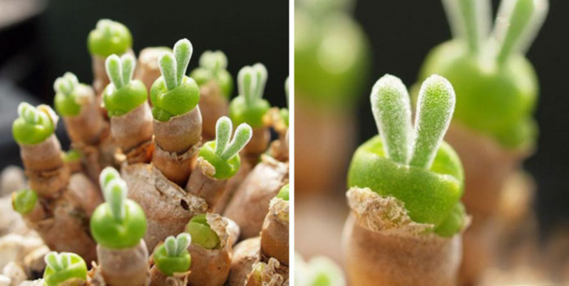 En Japón se vuelven locos con estas plantas suculentas con orejas de conejo