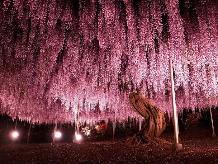 10 Razones por las que deberías dejarlo todo y visitar el festival de las glicinias en Japón