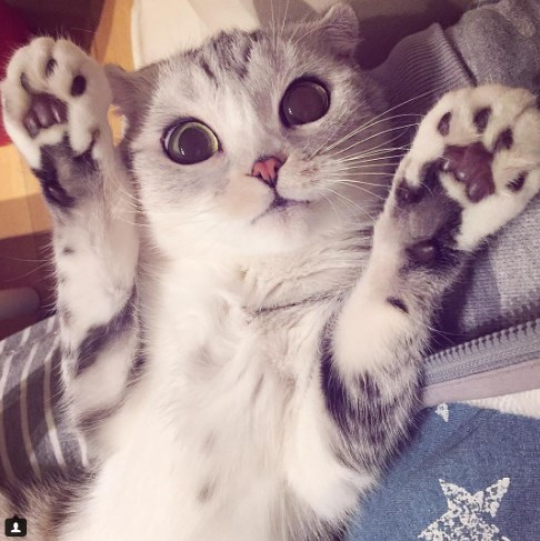Ella es Hanna, la gatita japonesa con los ojos más cautivantes que verás hoy...